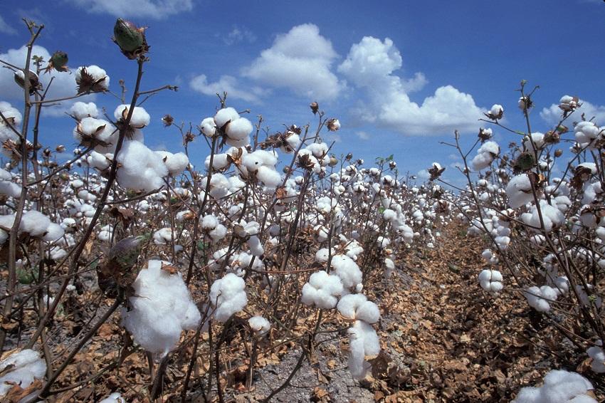 vai-thun-cotton-100-cotton-65-35-cvc-cotton-35-65-tc-tixi-la-gi-1